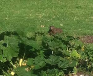 The resident groundhog we affectionately named GroundChuck.